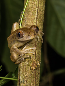 red tree frog, Leptopelis rufus (Arthroleptidae). on branches overhanging stream, Nyasoso, Southwest Region, Cameroon Africa