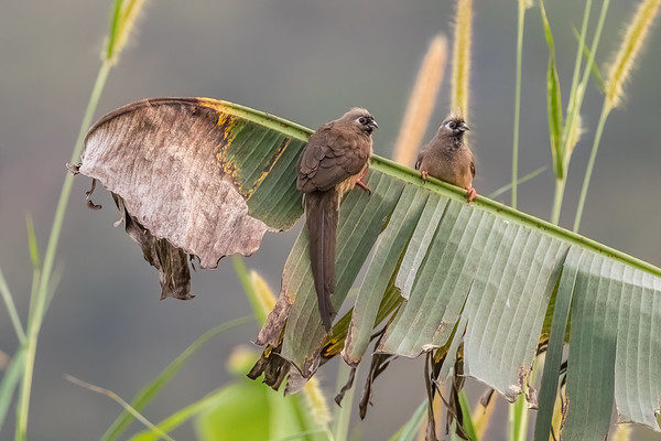 speckled mousebird, Colius striatus (Coliiformes, Coliidae). Nyasoso, Southwest Region, Cameroon Africa