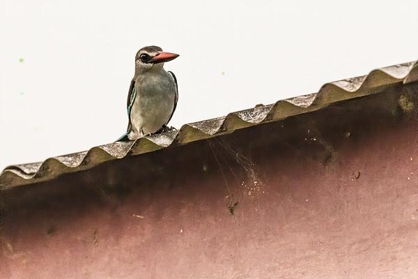 grey-headed kingfisher, Halcyon leucocephala (Coraciiformed, Alcedinidae). Nyasoso, Southwest Region, Cameroon Africa