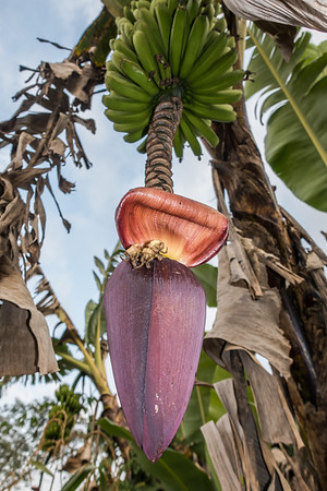 banana plant flower,  Musa sp. (Musaceae). Bangem, Southwest Region, Cameroon Africa
