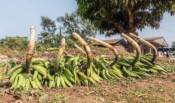 Plantain,  Musa sp. (Musaceae) waiting for pickup. Nyasoso, Southwest Region, Cameroon Africa