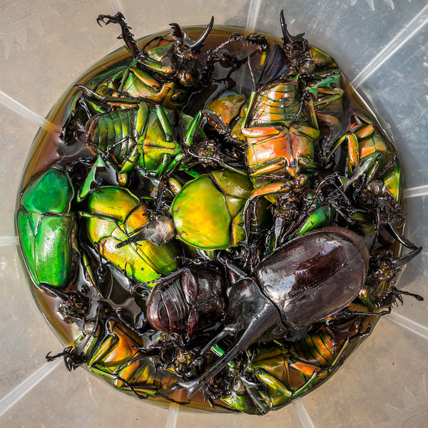 Scarab beetles the bug boys collected for sale. Tombel, Southwest Region, Cameroon Africa