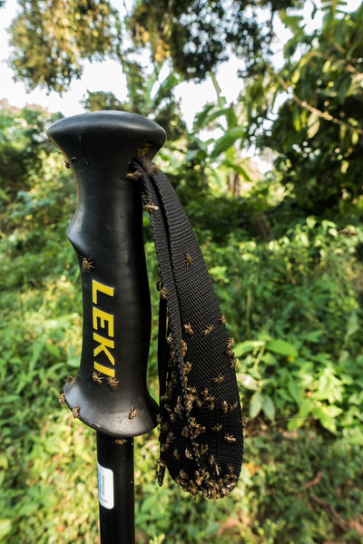 sweat bees on walking stick. Bermin, Southwest Region, Cameroon Africa