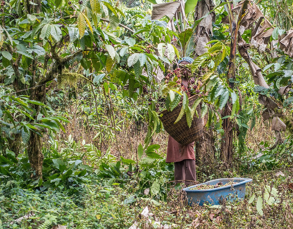 Woman picking cofee beans. Edib to Baseng, Southwest Region, Cameroon Africa