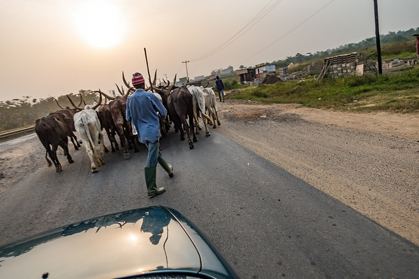 Cattle being walked to market from the highlands. Bonaberi, Littoral Region, Cameroon Africa