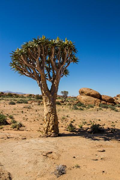 quiver tree, Aloe dichotoma (Xanthorrhoeaceae). Erongo Namibia
