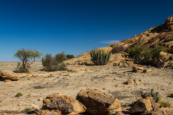 African star chestnut (mopapaja), Sterculia africana (Malvaceae) and candelabra euphorbia, Euphorbia virosa (Euphorbiaceae). Erongo Namibia