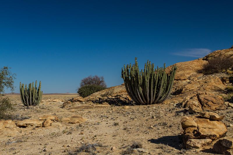 candelabra euphorbia, Euphorbia virosa (Euphorbiaceae). Erongo Namibia
