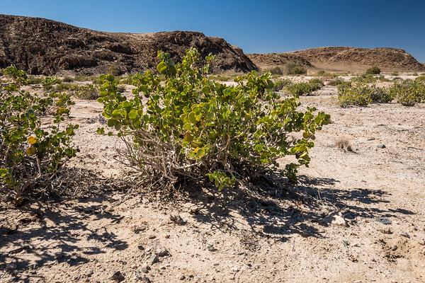 dollar bush, Zygophyllum stapffii (Zygophyllaceae). Erongo Namibia