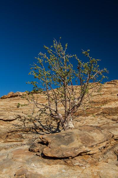 African star chestnut (mopapaja), Sterculia africana (Malvaceae). Erongo Namibia