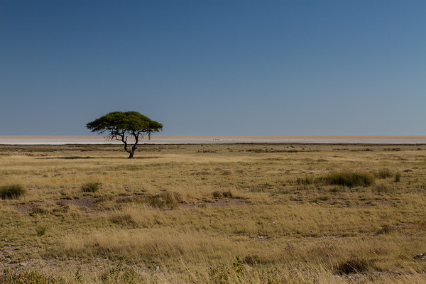 camel-thron acacia, Acacia rerioloba (Fabaceae). Etosha N.P., Oshikota Namibia