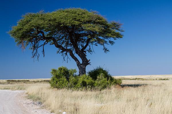 camel-thron acacia, Acacia rerioloba (Fabaceae)  with mustard bush, Salvadora persica (Salvadoraceae)  at base. Etosha N.P., Oshikota Namibia
