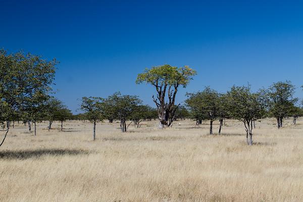 sprokiesbroom, Moringa ovalifolia (Moringaceae). Etosha N.P., Oshana Namibia
