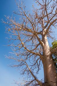 baobab tree, Adansonia digitata (Malvaceae). Kwando, Kavango Namibia