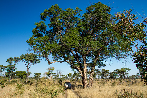 false mopane, Guibourtia coleosperma (Fabaceae). Khaudum N.P., Kavango Namibia