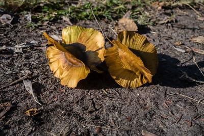 large-fruited combretum seeds, Combretum zeyheri (Combretaceae). Kwando, Kavango Namibia