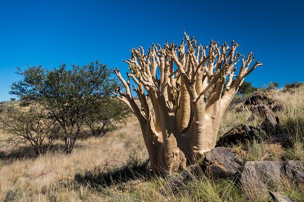 butter tree (kobas), Cyphostemmea currorii (Vitaceae). Khomas Namibia