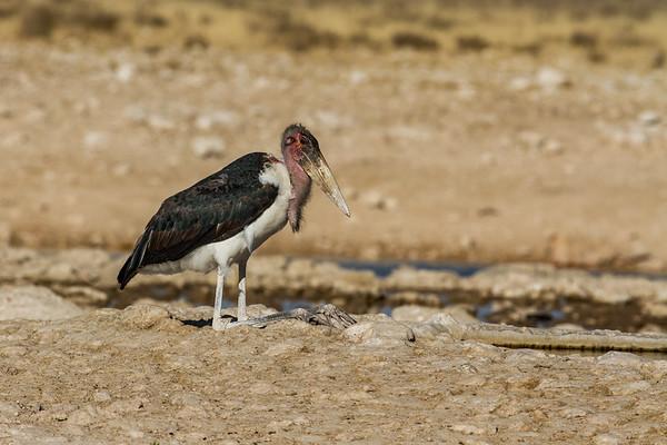 marabou stork, Leptoptilos crumeniferus (Ciconiidae, Ciconiiformes). Etosha N.P., Oshikota Namibia