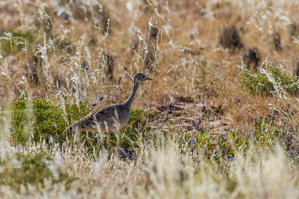 Rüppell's korhaan, Eupodotis rueppellii (Otididae, Gruiformes). Erongo Namibia