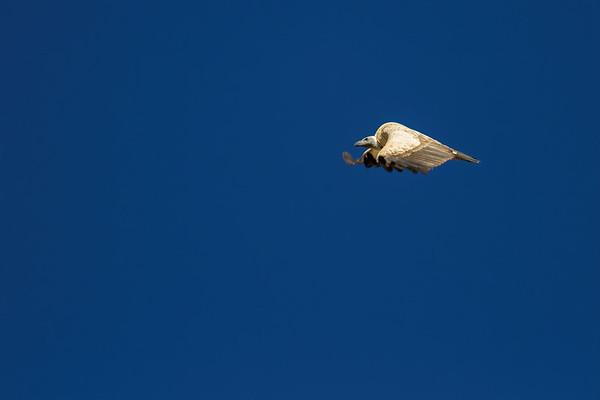 cape vulture, Gyps coprotheres (Accipitridae, Accipitriformes). Otjozondjupa Namibia