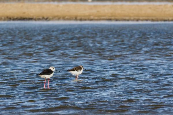 black-winged stilt, Himantopus himantopus (Recurvirostridae, Charadriiformes). Walvis Bay, Erongo Namibia