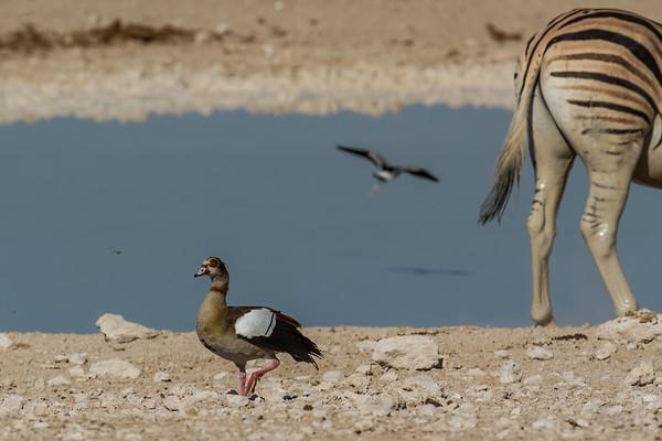 Egyptian goose, Alopochen aegyptiaca (Anatidae, Anseriformes). Etosha N.P., Oshikota Namibia