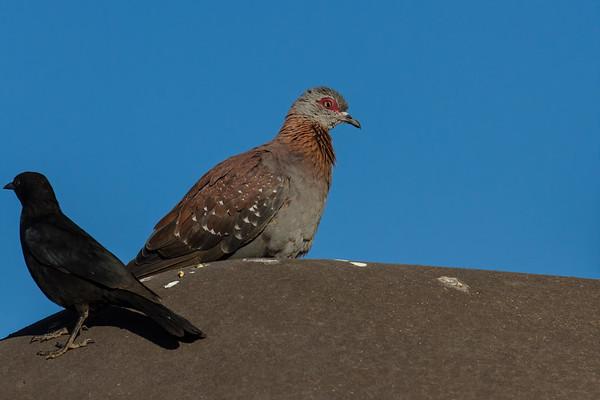 speckled (rock) pigeon, Columba guinea (Columbidae, Columbiformes). Abu Huab, Kunene Namibia
