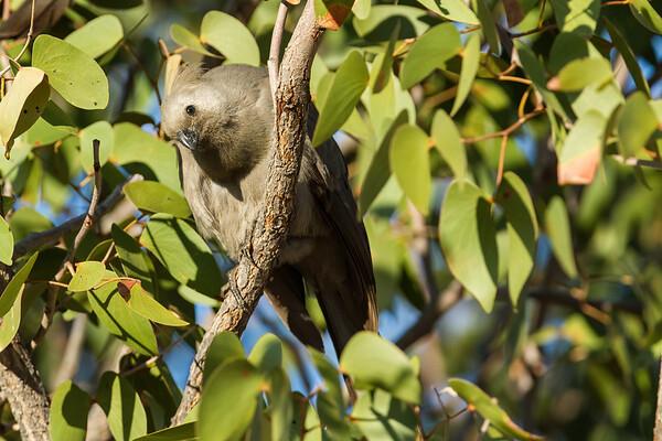 grey go-away bird (lourie), Corythaixoides concolor (Musophagidae, Cuculiformes). Abu Huab, Kunene Namibia