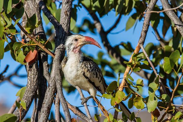 southern yellow-billed hornbill, Tockus leucomelas (Bucerotidae, Coraciiformes). Abu Huab, Kunene Namibia