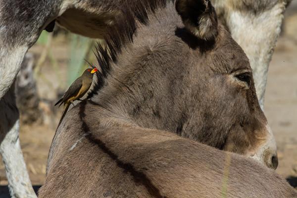 yellow-billed oxpecker, Buphagus africanus (Buphagidae, Passeriformes). Epupa, Kunene Namibia