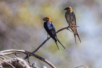 lesser striped swallow, Hirundo abyssinica (Hirundinidae, Passeriformes). Epupa, Kunene Namibia