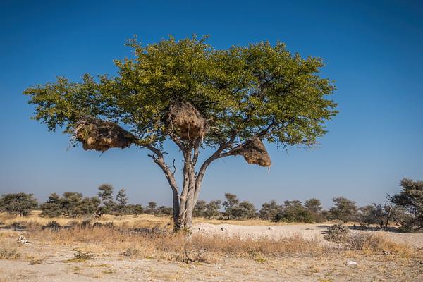 sociable weaver, Philetairus socius (Passeridae, Passeriformes). Etosha N.P., Omusati Namibia