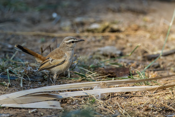 Kalahari scrub robin, Cercotrichas paena (Muscicapidae, Passeriformes). Epupa, Kunene Namibia