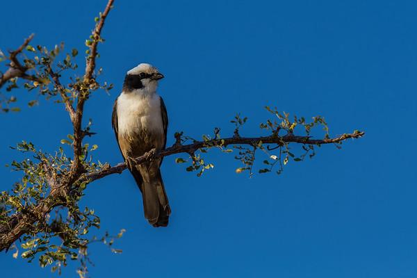southern white-crowned shrike, Eurocephalus anguitimens (Laniidae, Passeriformes). Epupa, Kunene Namibia