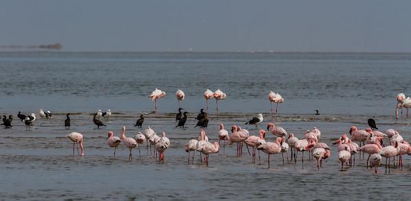 greater flamingo, Phoenicopterus ruber (Phoenicopteridae, Phoenicopteriformes). Walvis Bay, Erongo Namibia