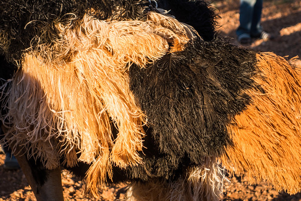 common ostrich, Struthio camelus (Struthionidae, Struthioniformes). Sophienhof, Kunene Namibia