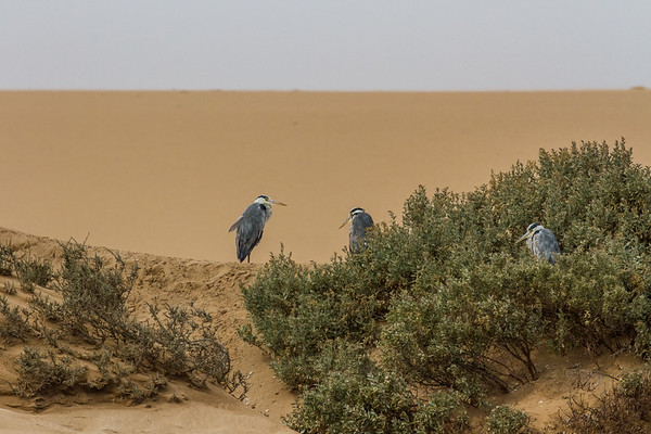 grey heron, Ardea cinerea (Ardeidae, Pelecaniformes). Walvis Bay, Erongo Namibia