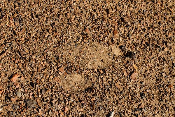 common ostrich, Struthio camelus (Struthionidae, Struthioniformes). Erongo Namibia