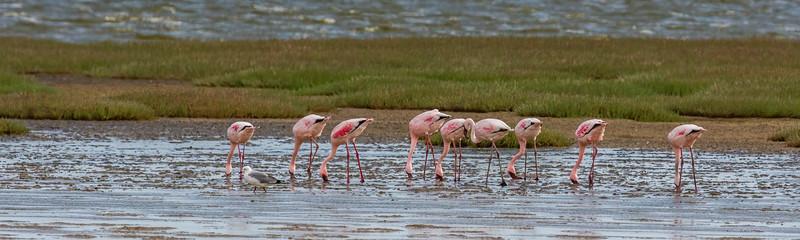lesser flamingo, Phoenicopterus minor (Phoenicopteridae, Phoenicopteriformes). Walvis Bay, Erongo Namibia