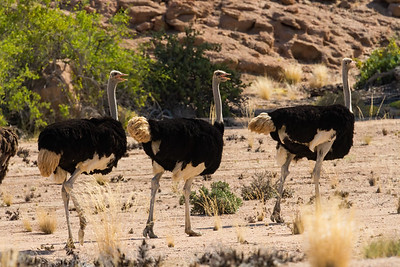 common ostrich, Struthio camelus (Struthionidae, Struthioniformes). Khan Valley, Erongo Namibia