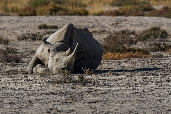 resting black rhinocerus, Diceros bicornis (Rhinocerotidae). Etosha N.P., Oshikota Namibia Africa