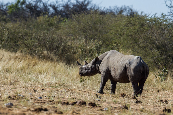 black rhinocerus, Diceros bicornis (Rhinocerotidae). Etosha N.P., Oshikota Namibia Africa