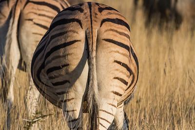 Burchell's zebra, Equus quagga burchelli (Equidae). Etosha N.P., Oshikota Namibia Africa