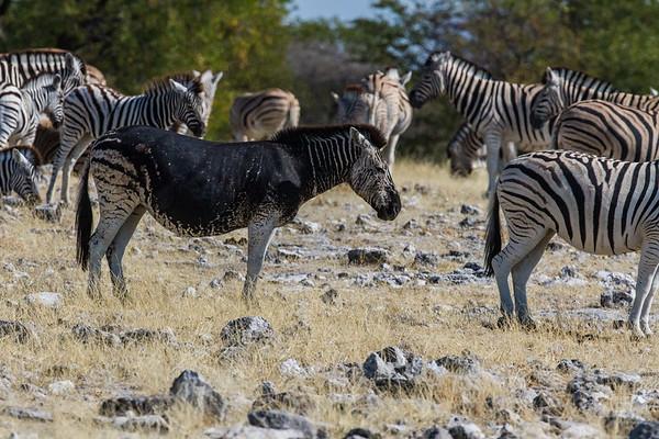 Mutated patterned Burchell's zebra, Equus quagga burchelli (Equidae). Etosha N.P., Oshikota Namibia Africa