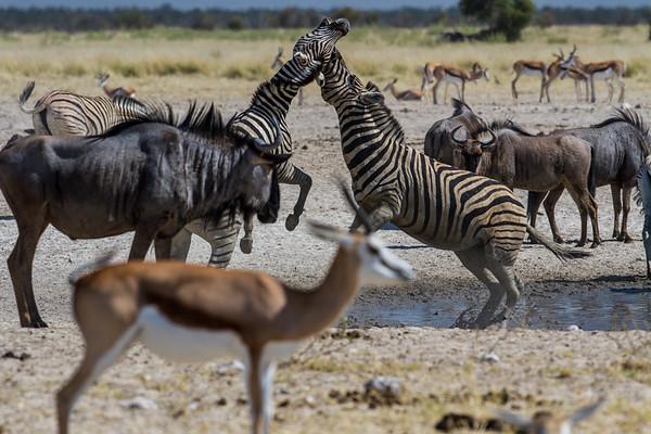 Burchell's zebra, Equus quagga burchelli (Equidae). Etosha N.P., Oshana Namibia Africa