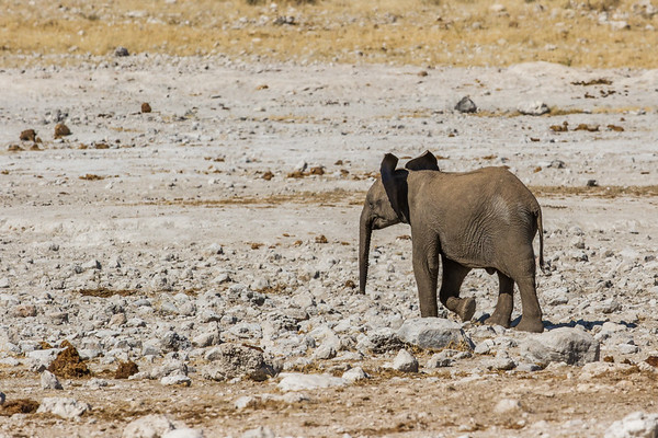 african elephant, Loxodonta africana (Elephantidae). Etosha N.P., Omusati Namibia Africa