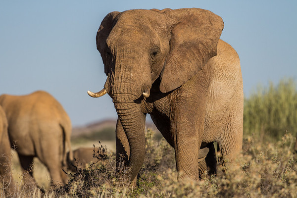african elephant, Loxodonta africana (Elephantidae). Twyfelfontein region, Kunene Namibia Africa