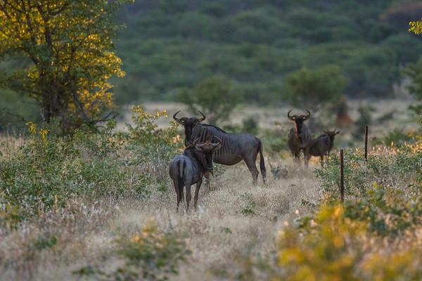 blue wildebeast, Connochaetes taurinus (Bovidae). Sophienhof, Kunene Namibia