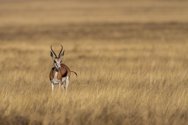 springbok, Antidorcas marsupialis (Bovidae). Etosha N.P., Oshana Namibia Africa