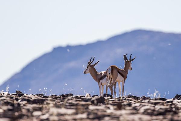 springbok, Antidorcas marsupialis (Bovidae). Erongo Namibia Africa